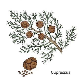 Concept de branche de cyprès dessin coloré