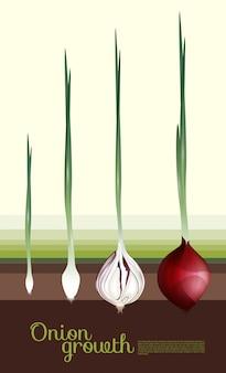 Concept de croissance d'oignon rouge frais