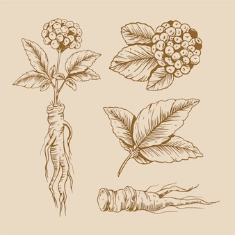 Conception de dessin de collection de plantes de ginseng