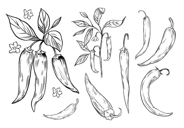 Conception d'illustration de croquis de poivre épicé