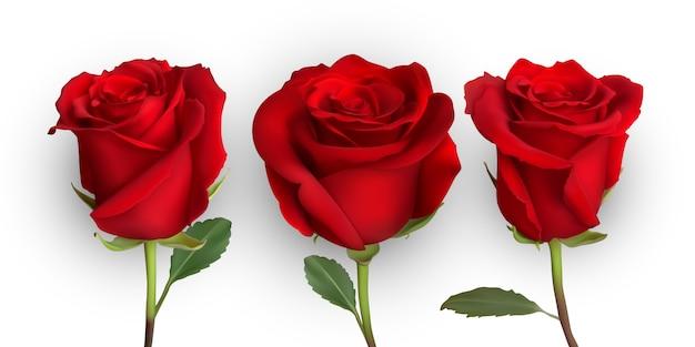 Conception de rose réaliste isolée