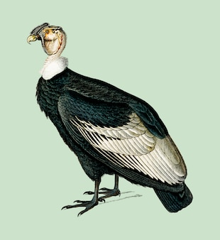 Condor andin (vultur gryphus) illustré par charles dessalines d'orbigny (1806-1876).