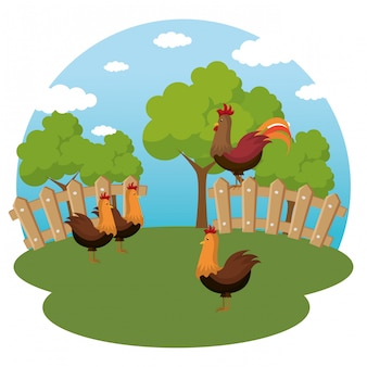 Coqs dans la ferme