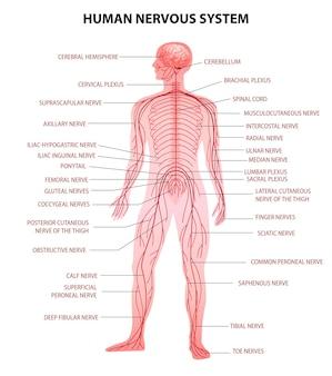 Corps humain, cerveau central, moelle épinière et système nerveux périphérique, tableau éducatif réaliste, terminologie anatomique