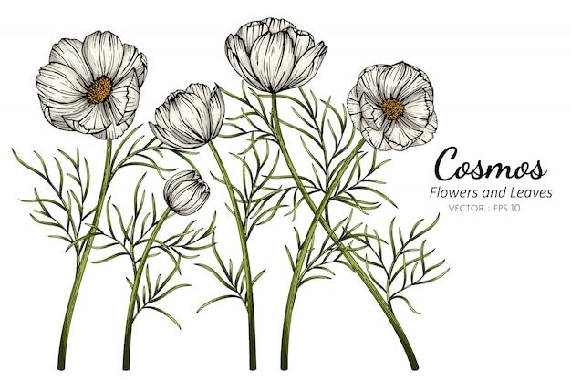 Cosmos blanc fleur et feuille dessin illustration avec dessin au trait sur fond blanc.