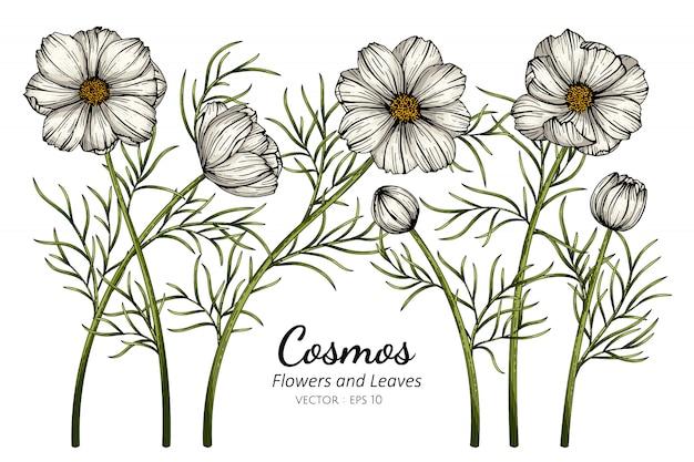 Cosmos blanc fleur et feuille dessin illustration