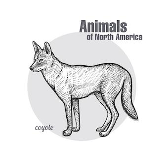 Coyote. série animaux d'amérique du nord.
