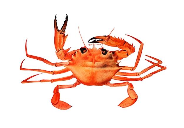Crabe brachyuran ouest-africain
