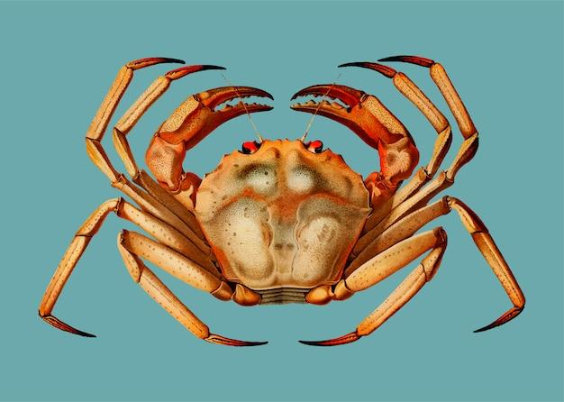 Crabe rouge de haute mer de l'atlantique