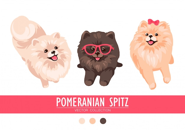 Crème de spitz de poméranie, orange et foncé isolé sur fond blanc. chiots poms mignons. petit spitz allemand. petits chiens.