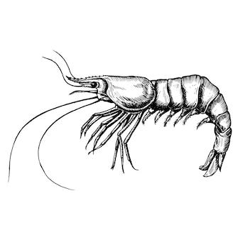 Crevettes dessinées à la main isolé