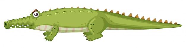Crocodile sur blanc