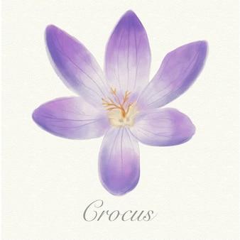 Crocus aquarelle violet isolé