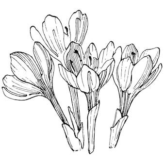 Crocus fleur croquis illustration isolé dessin au trait safran. fleur dessinée à la main mignonne dans le contour noir et l'avion blanc