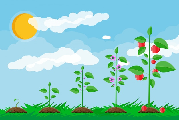 Croissance de la plante, de la germination au fruit.