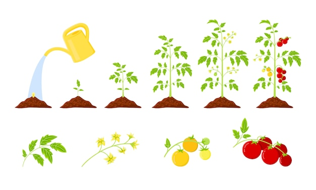 La croissance des plants de tomates passe de la graine à la tomate rouge qui mûrit. infographie de croissance des tomates. plante potagère du cycle de vie.