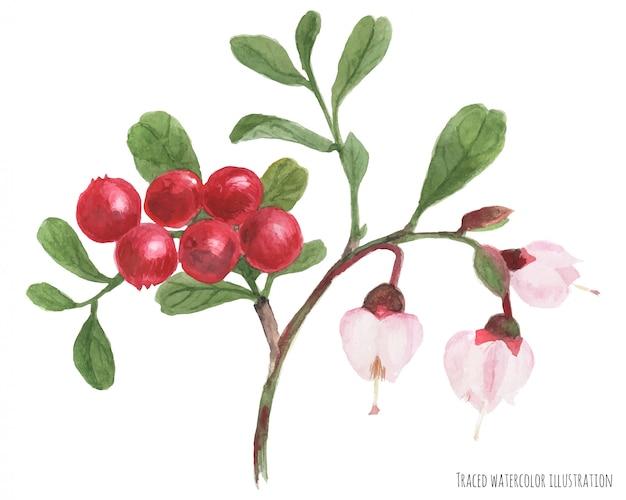 Croquis aquarelle de branche d'airelle rouge