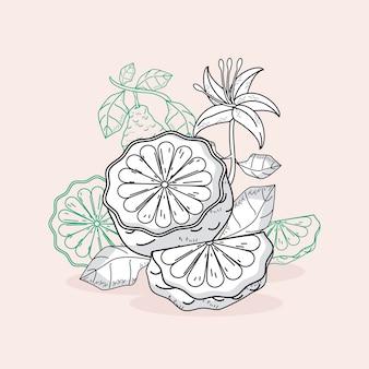 Croquis de bergamote