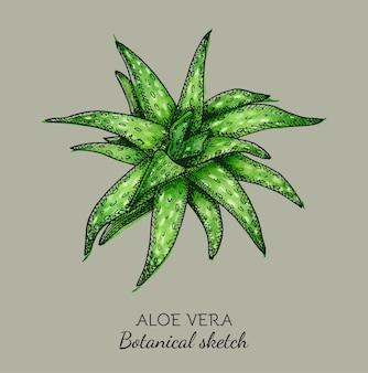 Croquis botanique d'aloe vera