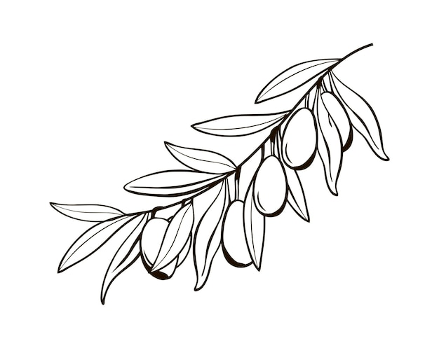 Croquis de branches d'olivier isolées avec des baies dessin noir et blanc du symbole de l'italie