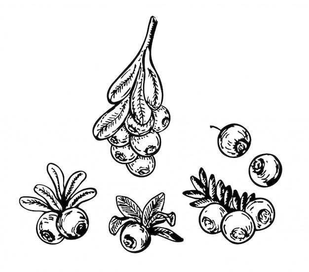 Croquis de canneberge. branche de baies et feuilles sur fond blanc.