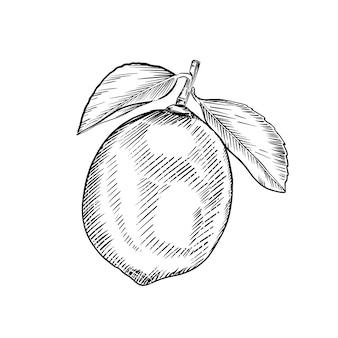 Croquis de chaux isolé sur fond blanc. illustration gravée dessinée à la main. style rétro.