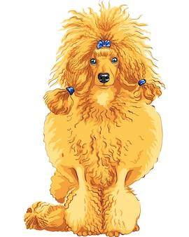 Croquis en couleur de la race caniche chien rouge