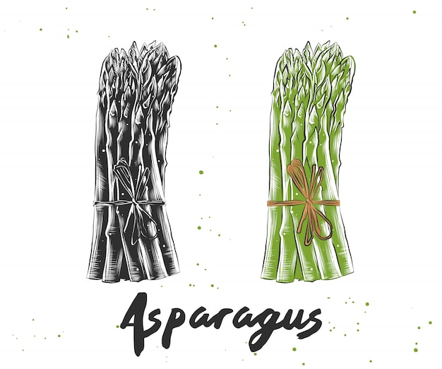 Croquis dessiné à la main des asperges