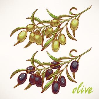 Croquis dessiné à la main de branches d'olivier