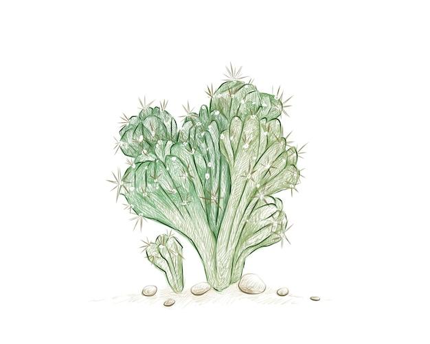 Croquis dessiné à la main de cereus forbesii monstrose cactus
