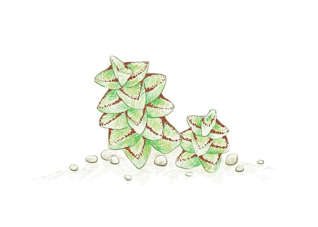 Croquis dessiné main de crassula tom thumb plante succulente
