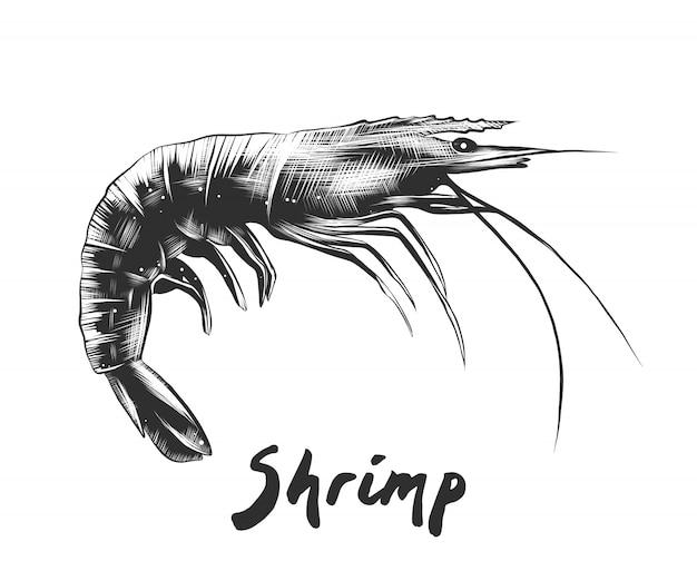 Croquis dessiné à la main de crevettes en monochrome