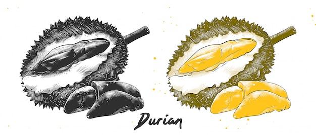 Croquis dessiné à la main de durian