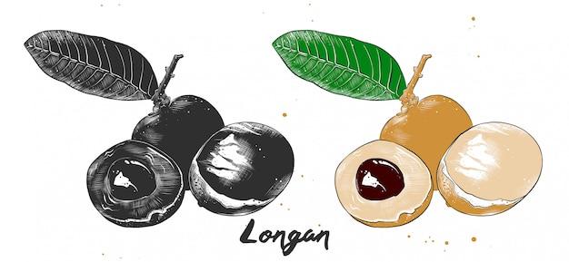 Croquis dessiné main de fruit longane