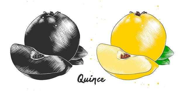 Croquis dessiné à la main de fruits de coing