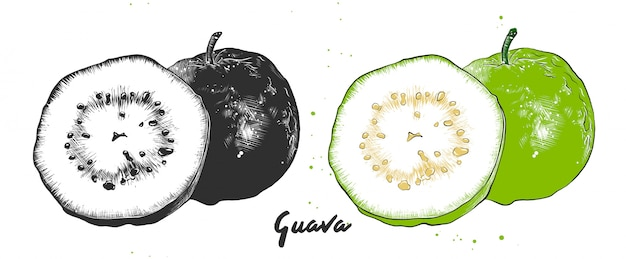 Croquis dessiné à la main de fruits de goyave
