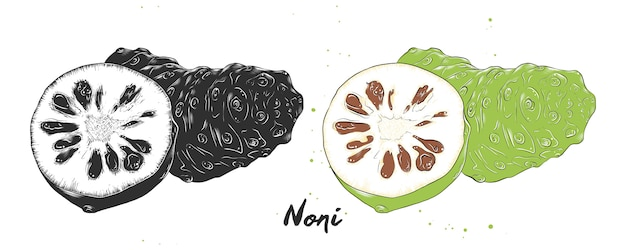 Croquis dessiné à la main de fruits de noni