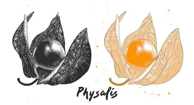 Croquis dessiné à la main de fruits de physalis