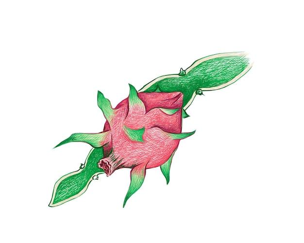 Croquis dessiné à la main de hylocereus ou pitaya cactus