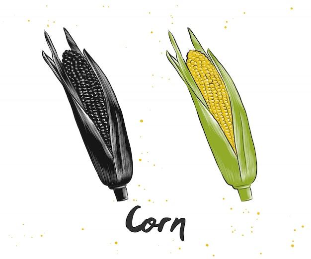 Croquis dessiné à la main de maïs