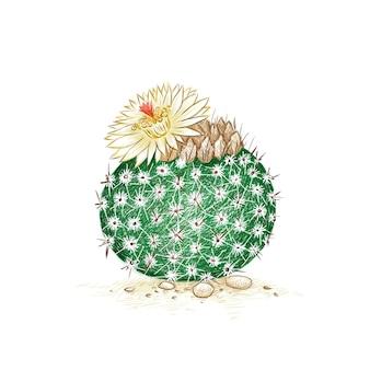 Croquis dessiné à la main de notocactus ou parodia cactus