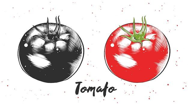 Croquis dessiné de main de tomate