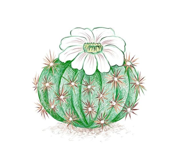 Croquis dessiné à la main de l'usine de cactus acanthocalycium