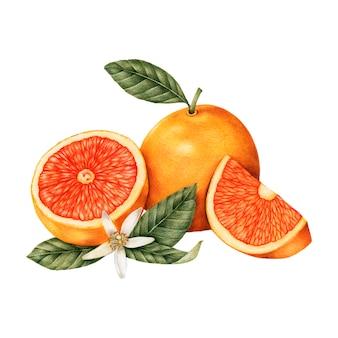 Croquis dessiné d'oranges à la main
