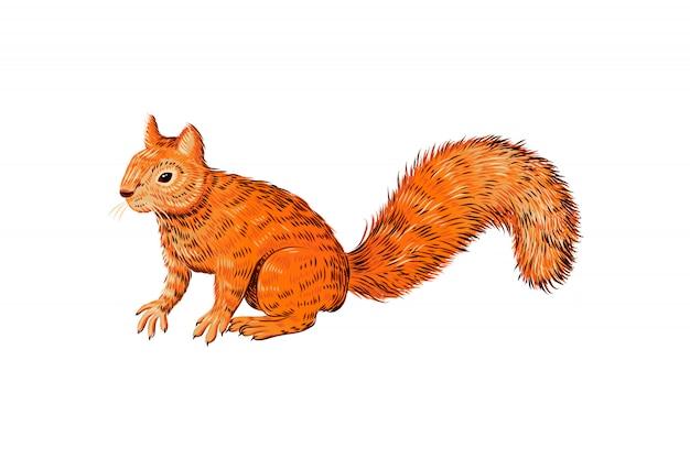 Croquis d'écureuil dessiné main, animal réaliste isolé