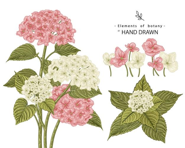 Croquis ensemble décoratif floral. dessins de fleurs d'hortensia rose et blanc. dessin au trait vintage isolé. illustrations botaniques dessinées à la main.