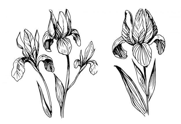 Croquis de fleurs d'iris