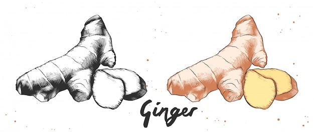 Croquis de gingembre en monochrome et coloré