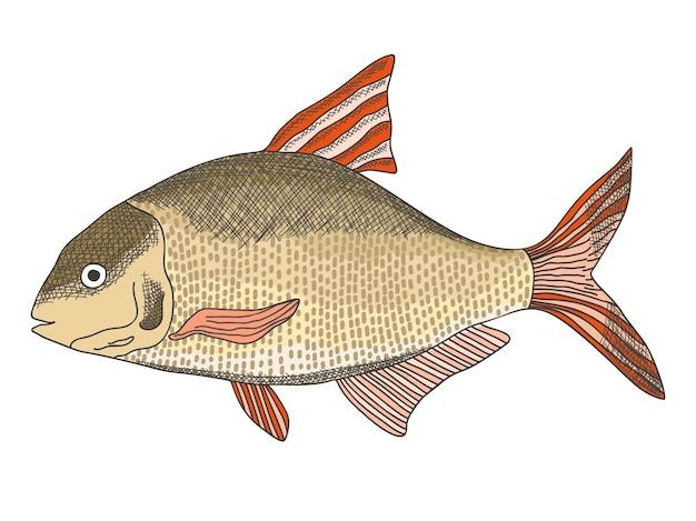 Croquis illustration vectorielle texturée de brème d'eau douce commune, carpe bronze ou poisson dorado