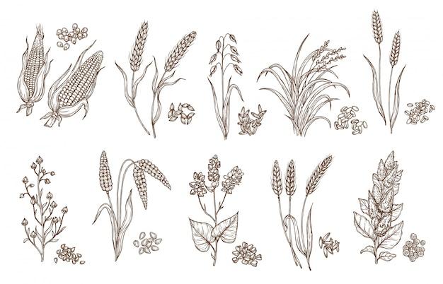 Croquis isolés de céréales et de graines de plantes céréalières
